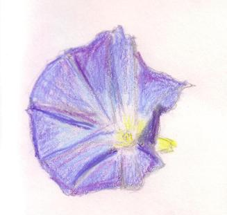 garden sketch morning glory
