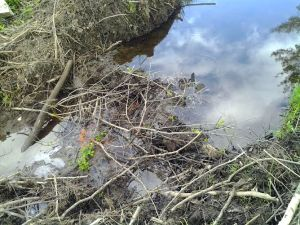 beaver edits dam