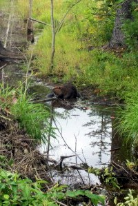 beaver edits snared from bridge