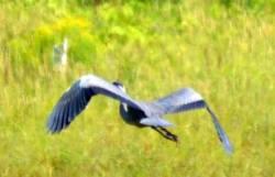 sal blue heron